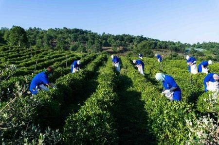 Dağların zirvəsində yaradılmış çay cənnəti - FOTO